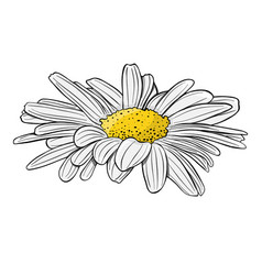 chamomile flower isolated on white vector image