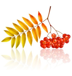 Isolated autumn rowan branch with leaves vector image