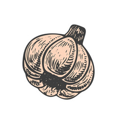 hand drawn of garlic sketch style doodle vegetable vector image