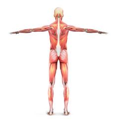 Muscles a man vector