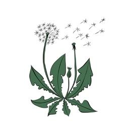Dandelion summer flowers isolated on white vector image