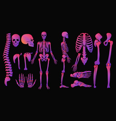 Human bones bright colors neon style skeleton set vector