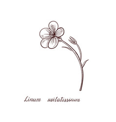 drawing flax plant vector image