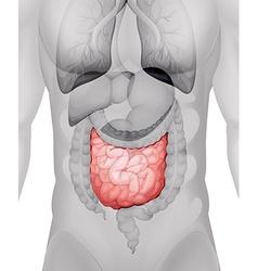 Small intestine diagram in human vector