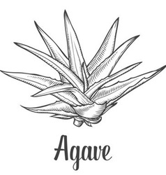 Agave plant vector