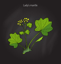 Alchemilla vulgaris common lady s mantle vector