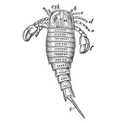 Dorsal view of sea scorpion vintage vector