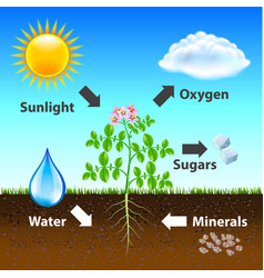 photosynthesis diagram background vector image