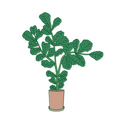 fiddle-leaf fig or ficus lyrata growing in pot vector image