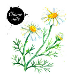 hand drawn watercolor chamomile flower painted vector image