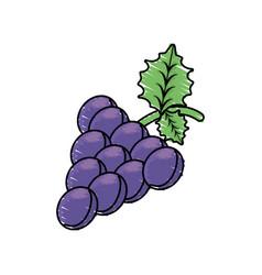 grape fruit harvest fresh vector image