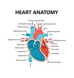 Diagram heart blood flow close-up cardiology vector