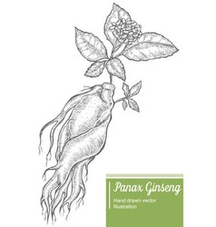 Panax Ginseng Root Plant vector