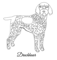drachhaar dog outline vector image vector image