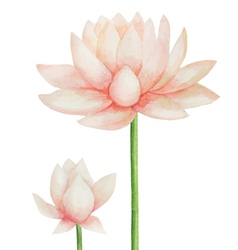 Watercolor pink Lotus flower Isolated vector