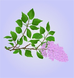 Twig Lilac with flowers and leaves vector image