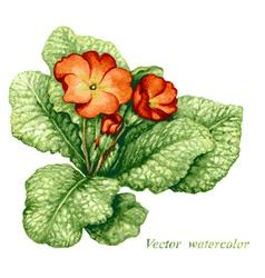 Primula vector image vector image