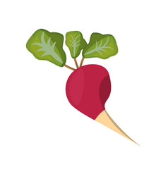 radish vegetable natural vector image
