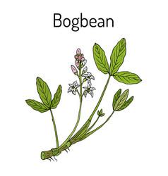 bogbean or buckbean menyanthes trifoliata vector image vector image