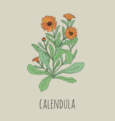 Colorful detailed drawing of blooming calendula vector