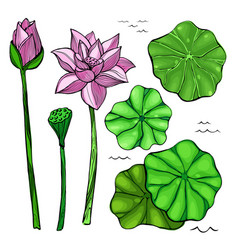 flowers and leaves lotus vector image