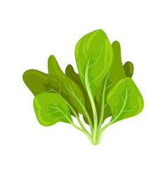 Spinach herb fresh salad leaves healthy organic vector