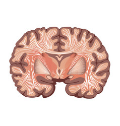 Brain anatomy showing basal ganglia and thalamic vector