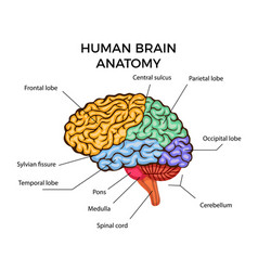 Human brain anatomy vector