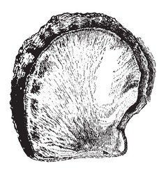 Oyster shell vintage vector