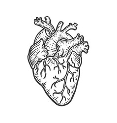 Human heart sketch engraving vector