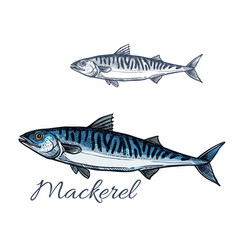 mackerel sea fish sketch for seafood design vector image