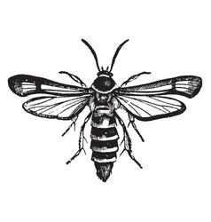 blackberry borer female vintage vector image