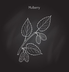 Mulberry morus nigra or black mulberry vector