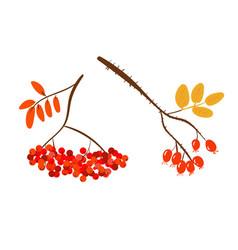 autumnal berries vector image