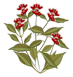 Fresh clove plant on white background vector