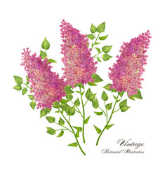 branch of lilac vector image