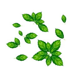 Set of Thai Basil Leaves on White Background vector image