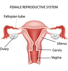 Cartoon of Female reproductive system vector image vector image