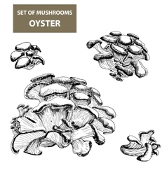 Mushrooms Oyster vector image