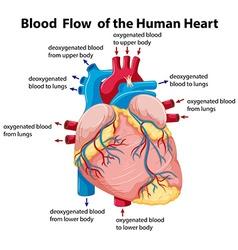 Diagram showing blood flow in human heart vector image vector image