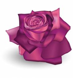 Fuchsia rose vector