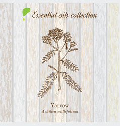 Pure essential oil collection yarrow wooden vector