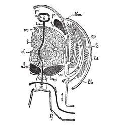 Crayfish thorax vintage vector