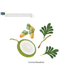 Breadfruit a native fruit in solomon islands vector
