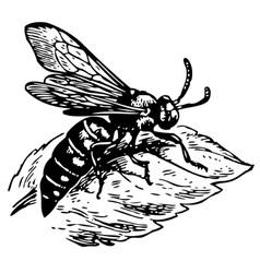 Wasp dioxy scincta vector