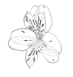 beautiful monochrome black and white Alstroemeria vector image vector image