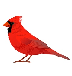 Northern cardinal bird vector