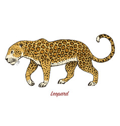 african wild leopard profile asian cat animal vector image