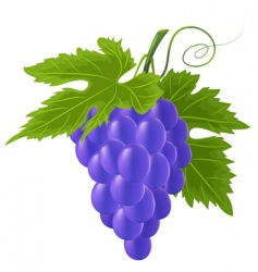 Vector blue grape vector