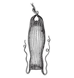 Dogfish egg case vintage vector